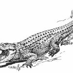 Free Picture of Alligator Coloring Pages   prmlr