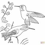 Free Hummingbird Coloring Pages   20627