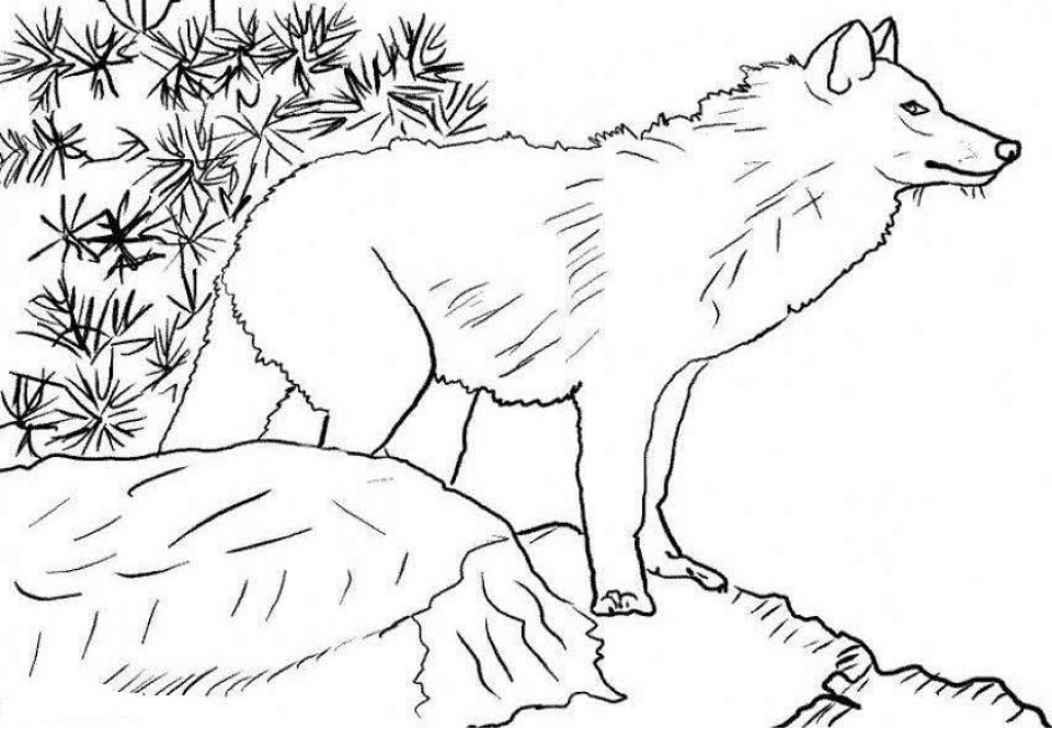 Coloring Pages of a Wolf   88963