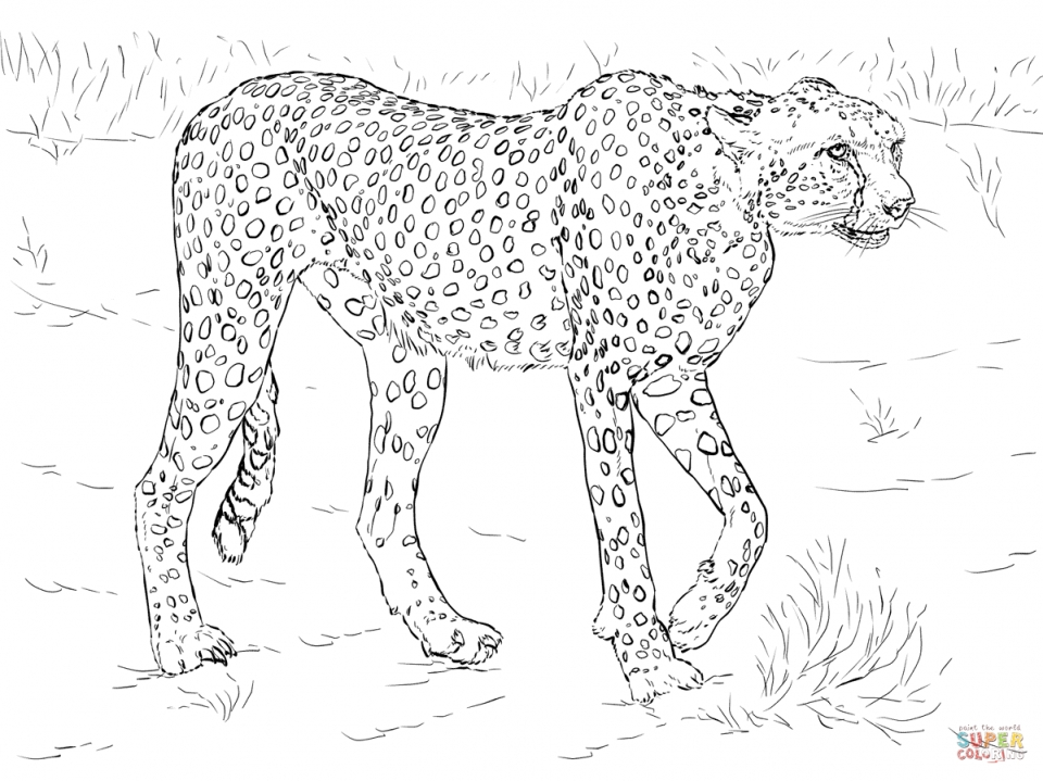 Cheetah Coloring Pages Free to Print   3ab62