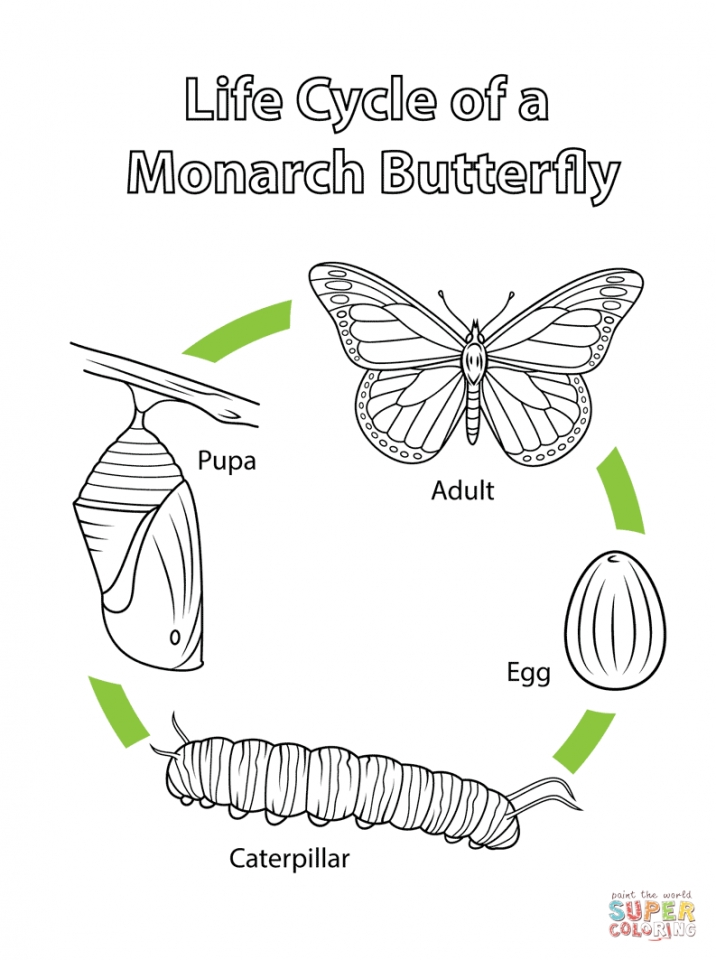 coloring pages butterfly life cycle   3ha87