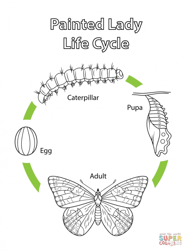 Printable coloring pages butterfly life cycle   9021k