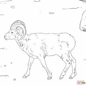 Bighorn sheep coloring pages   wat2n