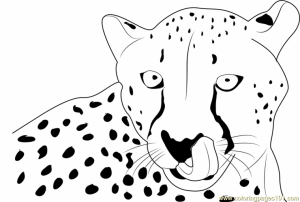Cheetah Coloring Pages Free   yaw67