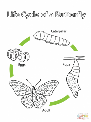 coloring pages butterfly life cycle   15abg