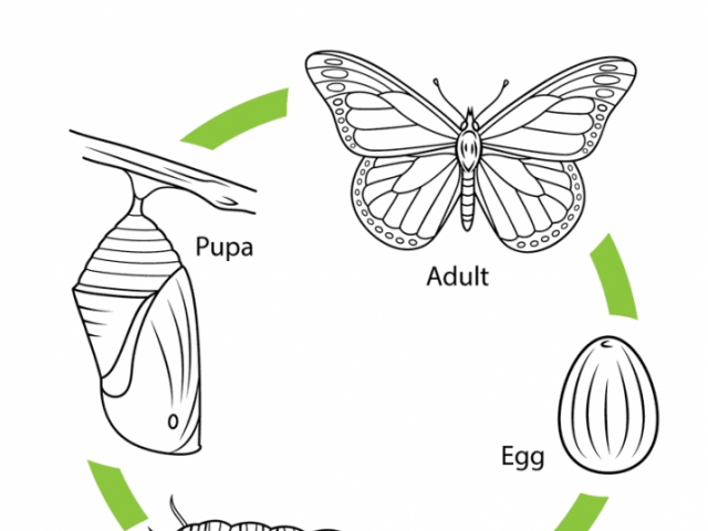Monarch Butterfly Coloring Pages Page Life