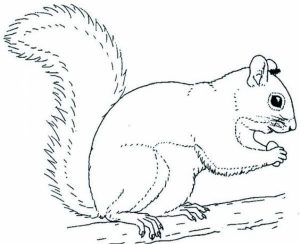 Online Squirrel Coloring Pages for Kids   sz5em