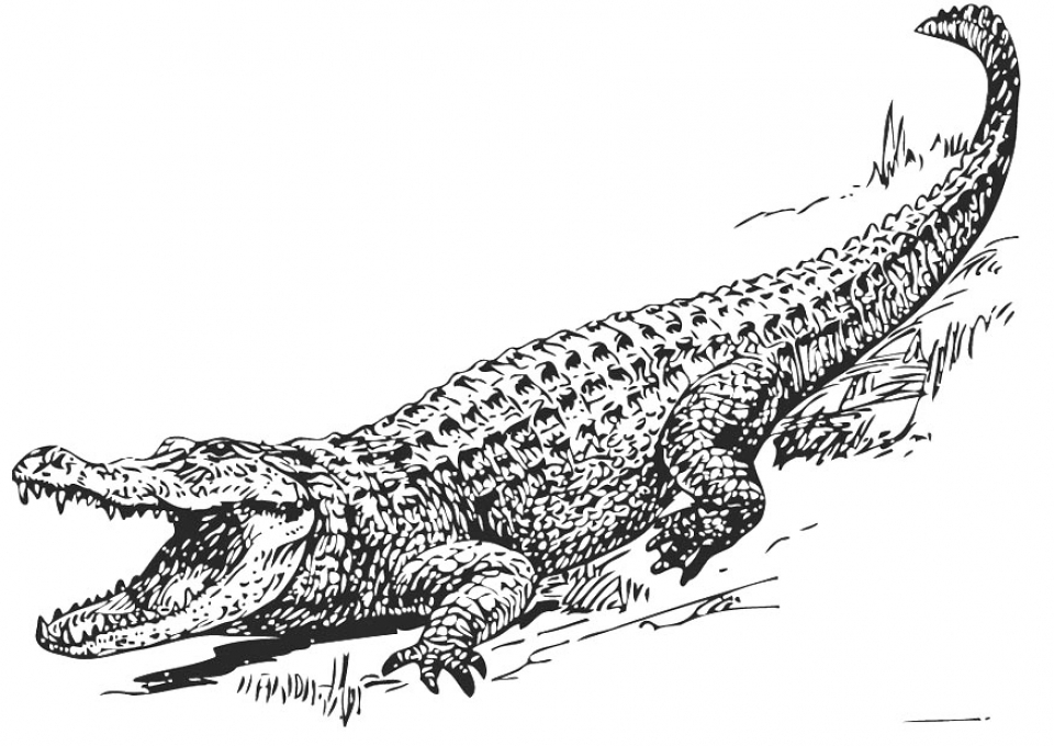 Get This Free Picture of Alligator Coloring Pages prmlr
