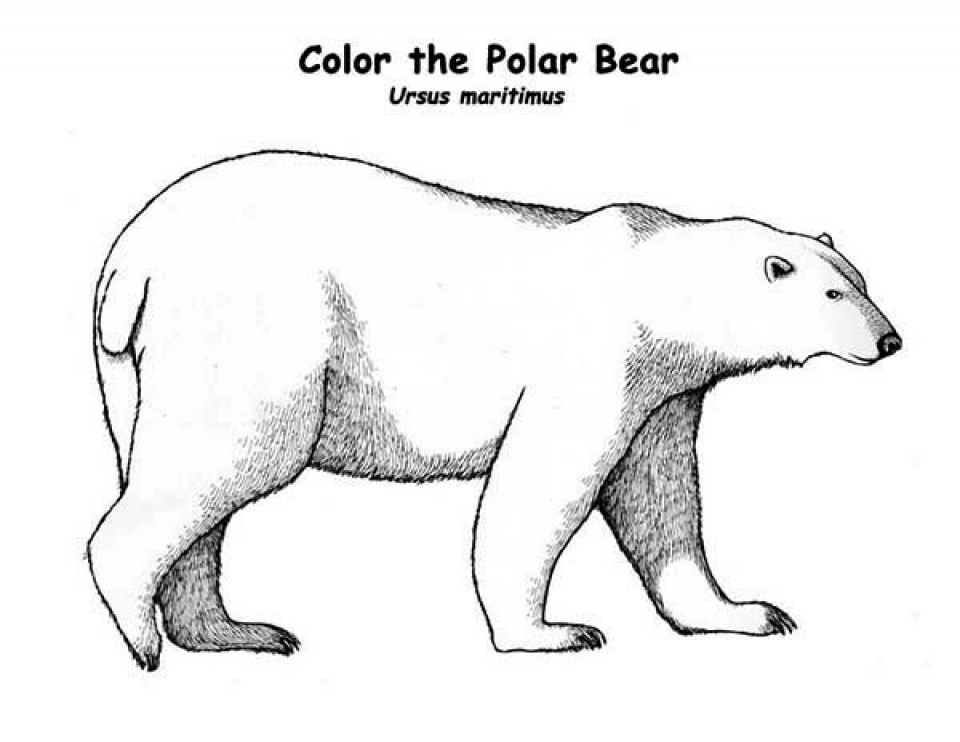 polar bear coloring pages preschool - photo#28