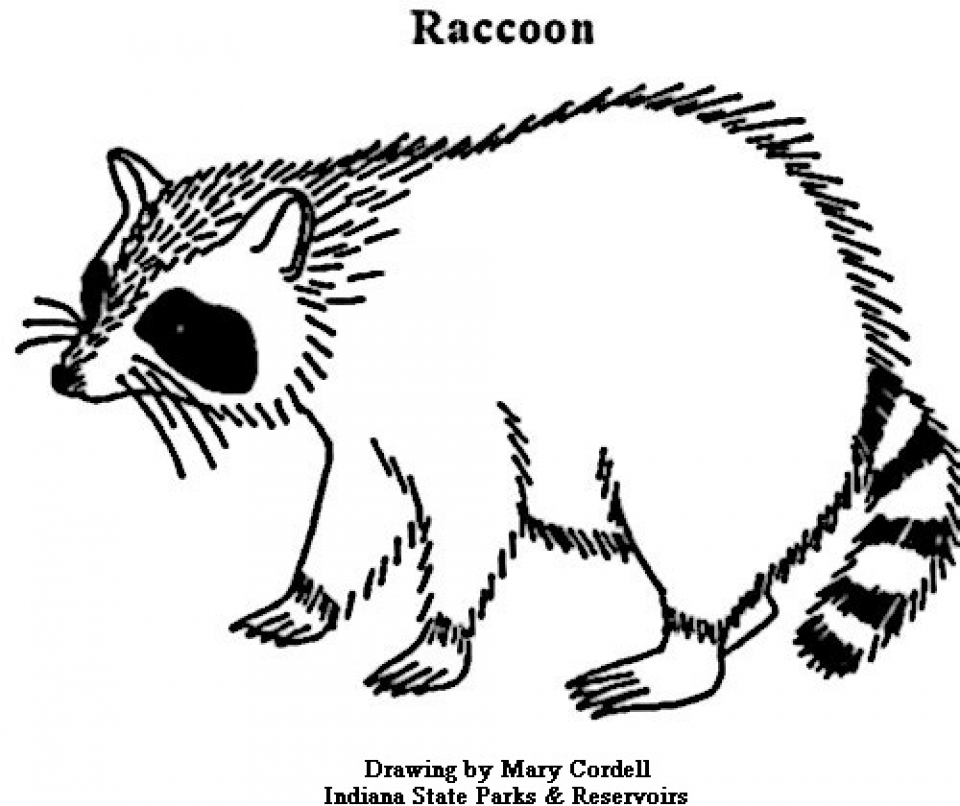 printable raccoon coloring pages 01827 - Racoon Coloring Page