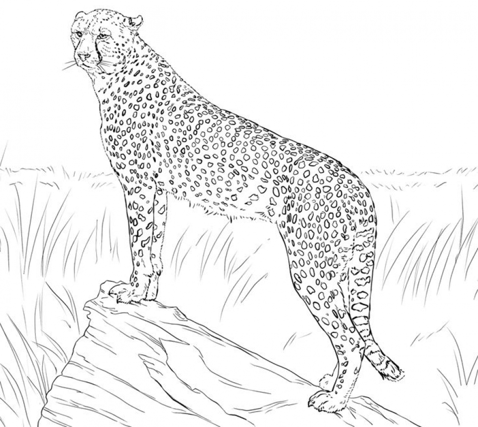Get This Cheetah Coloring Pages Free Yxn4m