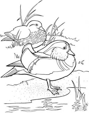 Duck Coloring Pages A Pair of Mandarin Ducks